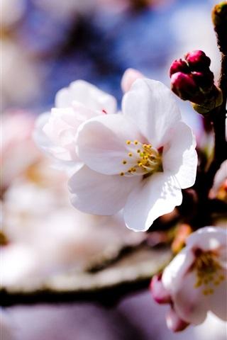 iPhone 배경 화면 애플 트리 하얀 꽃 봄