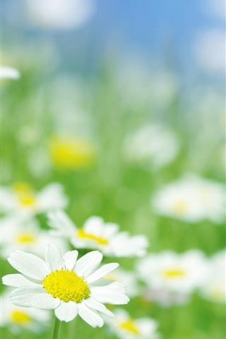 iPhone 배경 화면 카모마일 꽃 매크로