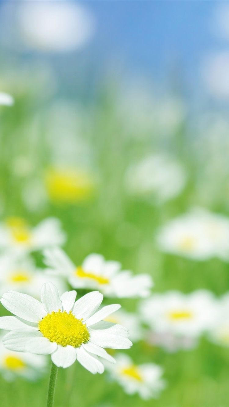 カモミールの花はマクロ 750x1334 Iphone 8 7 6 6s 壁紙 背景 画像