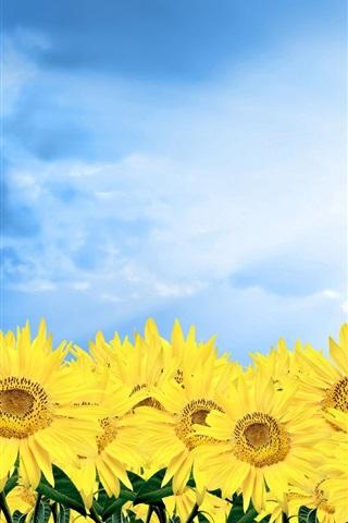 iPhone 배경 화면 푸른 하늘 아래 황금 해바라기