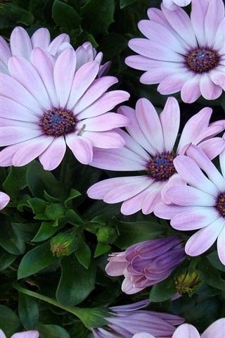 iPhone 배경 화면 사방이 빛이야 자주색 꽃
