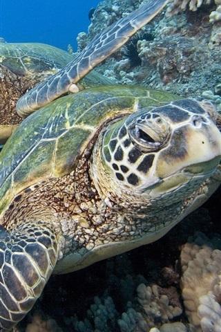 iPhone Wallpaper Two sea turtles