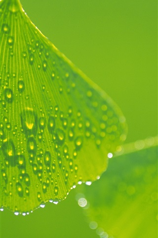 iPhone Wallpaper Ginkgo leaves with water drops close-up