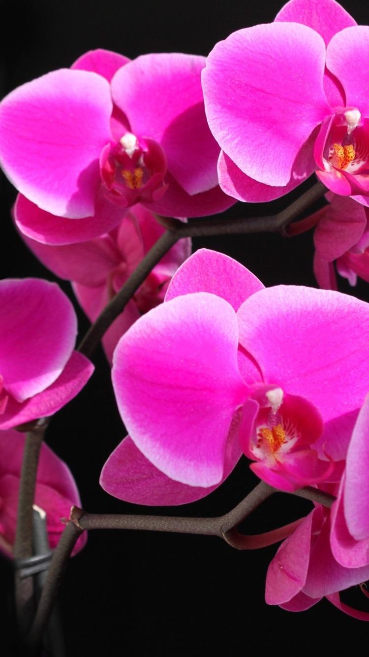 Phalaenopsis Orchidee Purpur Schon 750x1334 Iphone 8 7 6 6s