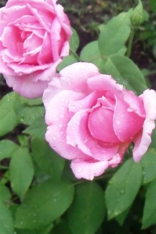 iPhoneの壁紙 ピンクの牡丹