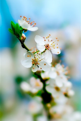 iPhone Wallpaper White apple blossoms