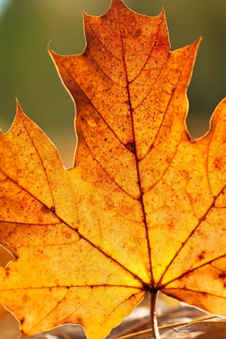 iPhone Wallpaper Autumn maple leaf close-up