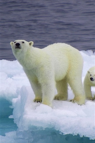 iPhone Wallpaper Bear and cubs on an ice floe