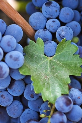 Blue And Purple Grape Harvest 750x1334 Iphone 8 7 6 6s Wallpaper Background Picture Image