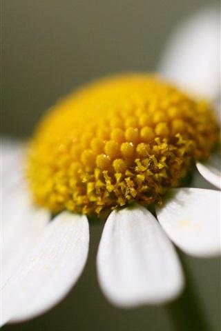 iPhone Wallpaper One big chamomile flower