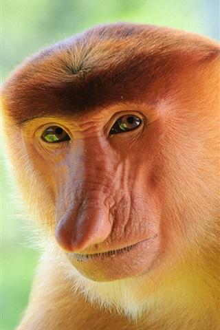 iPhone Wallpaper Proboscis monkey close-up