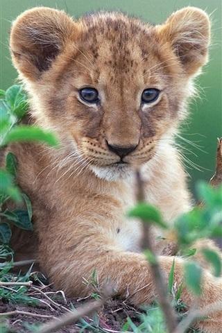 iPhone Wallpaper Cute little lion in green bushes