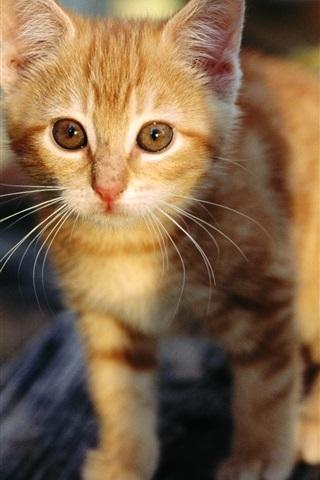 iPhone Wallpaper Cute orange kitten