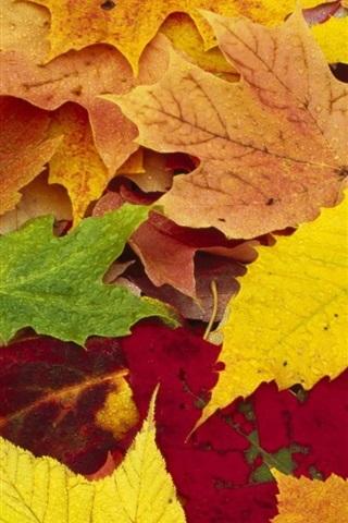 iPhone Wallpaper Maple leaves autumn season