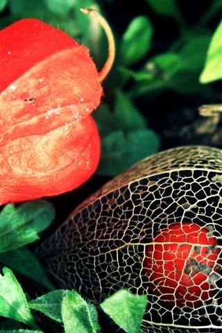 iPhone Обои Физалис цветы