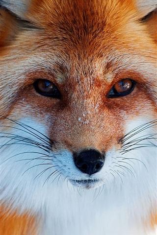 iPhone Wallpaper Fox close-up