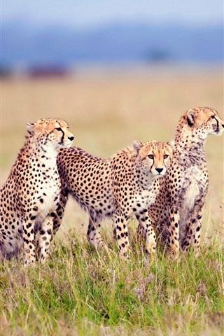 iPhone Wallpaper Savanna family of cheetahs