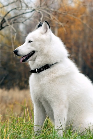 iPhone Wallpaper Husky dog on the grass