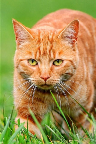iPhone Wallpaper Orange cat on green grass