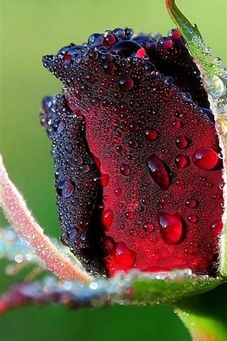 iPhone Wallpaper Rosebud dew water close-up