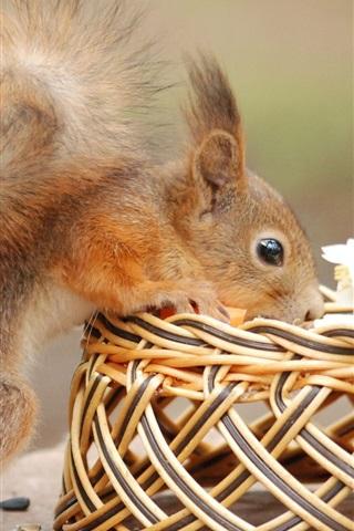 iPhone Wallpaper Squirrel curiosity