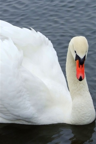 iPhone Wallpaper White Swan close-up