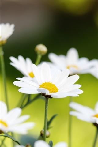 iPhone Wallpaper White daisies macro