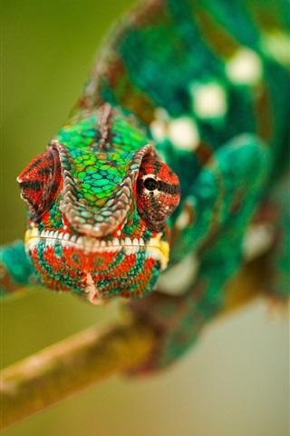 iPhone Wallpaper Amphibians, a chameleon