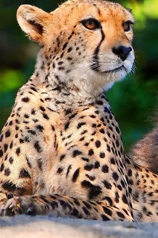 iPhone Wallpaper Big cats: Cheetahs