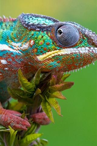 iPhone Wallpaper Chameleon gaze