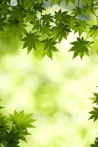 iPhone Wallpaper Fresh maple leaf background