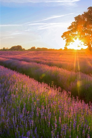 iPhone Wallpaper Lavender Garden of the sunset