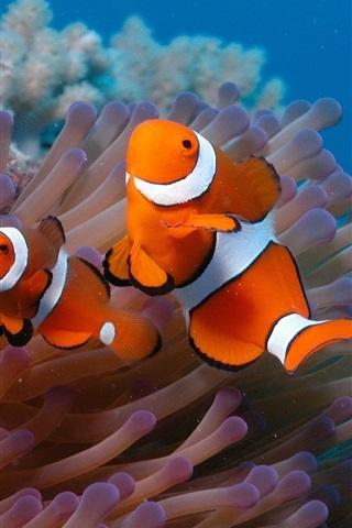 iPhone Wallpaper Underwater world, beautiful clown fish