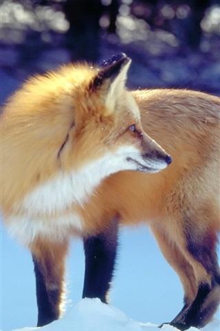 iPhone Wallpaper Golden fox in the winter snow