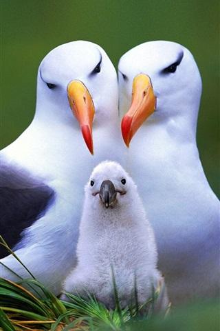 iPhone Papéis de Parede família Gull