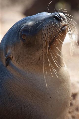iPhone Papéis de Parede Adorável close-up de leão marinho