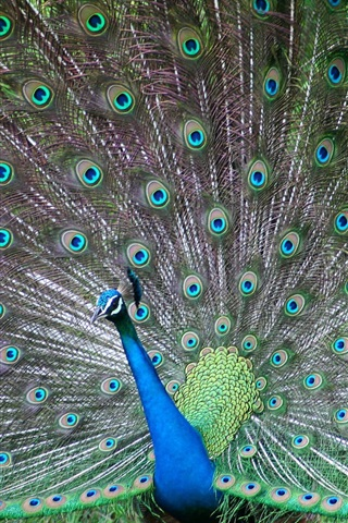iPhone Wallpaper Peacocks in full display