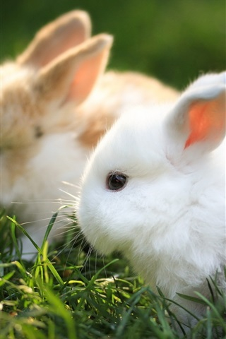 iPhone Wallpaper Rodents hare