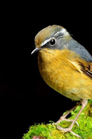 iPhone Wallpaper Yellow bird close-up