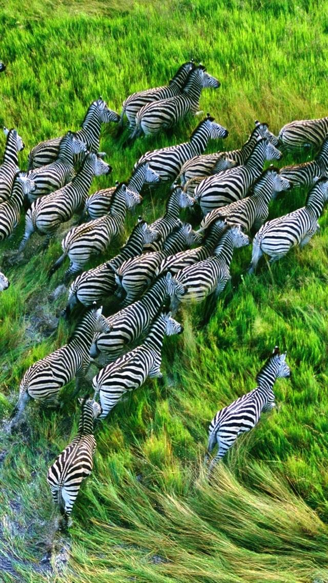 Zebraは 草原で実行されている 640x1136 Iphone 5 5s 5c Se 壁紙 背景 画像