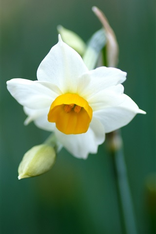 iPhone Wallpaper A white daffodil macro close-up
