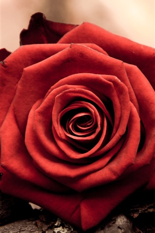iPhone Wallpaper Close-up of a red rose flower