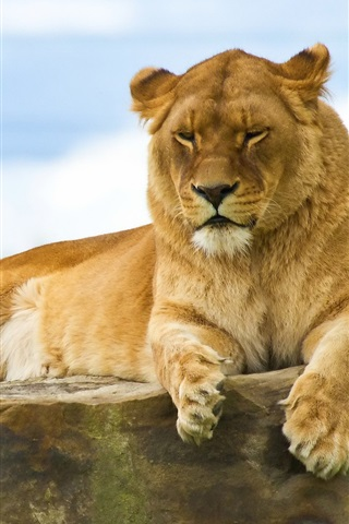 iPhone Wallpaper Lion lying on a stone
