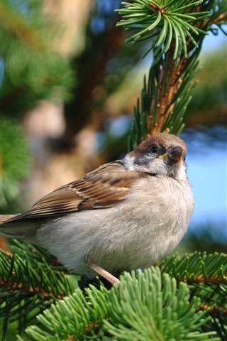 iPhone Wallpaper Sparrow spring pine tree