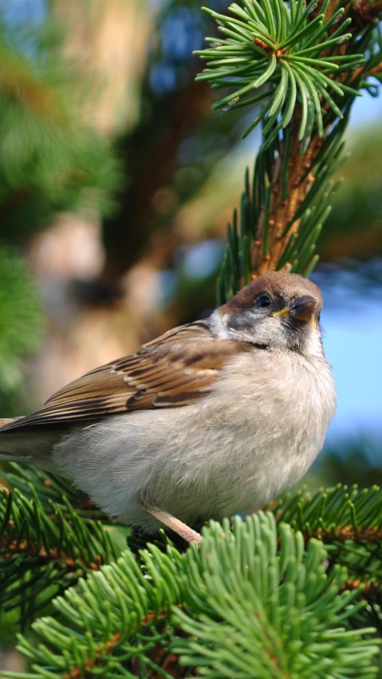 Sparrow Spring Pine Tree 750x1334 Iphone 8 7 6 6s Wallpaper