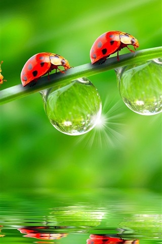 iPhone Wallpaper Three ladybugs on green leaves, drops of water