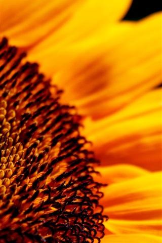 iPhone Wallpaper Sunflower flower close-up high definition
