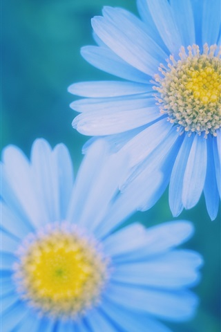 iPhone Wallpaper Blue daisies blurred close-up