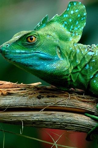 iPhone Wallpaper Green lizard, chameleon