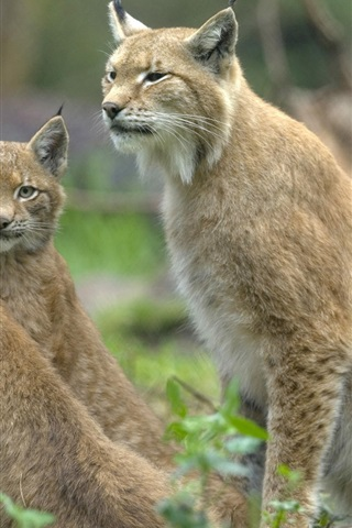 iPhone Wallpaper Three wild lynx cat, eyes looking